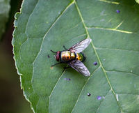 Fliege auf einer Pflanze