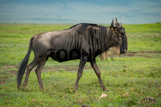 White-bearded wildebeest walks right-to-left on grassy meadow