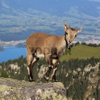Young alpine ibex standing on the ridge of Mount Niederhorn, Switzerland.