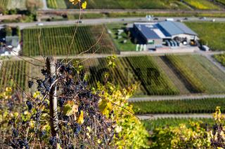 Weintrauben mit Winzergenossenschaft im Ahrtal
