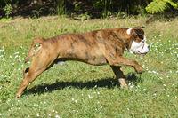 Old English Bulldogg