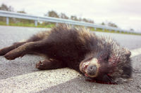 Racoon dog (Nyctereutes procyonoides) was hit on the highway by a car.