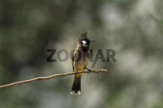 Himalayan bulbul, Pycnonotus leucogenys,  Sattal, Uttarakhand, India