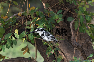 Pied kingfisher perched sits on a tree branch, Botswana