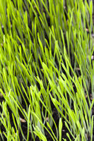 close-up of young green grass
