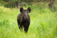 Wild boar standing on a meadow with green grass in summer with copy space