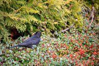 male of Common blackbird in garden