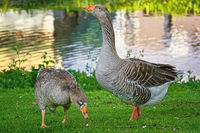 Grey Geese on the Grass