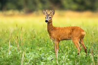 Young roe deer male with small antlers on the meadow