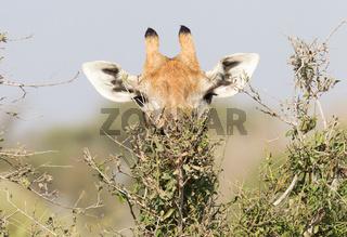 Giraffe eating fresh leaves from a tree