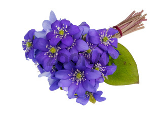 Bouquet from gentle  first forest springs blue  flowers lie on table isolated macro
