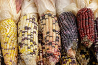 Colorful Indian Corn on a stand in Farmers Market on October.