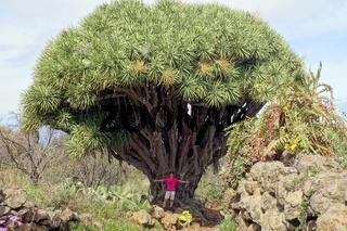 Frau steht unter einem der größten Drachenbäume La Palmas - Wanderung bei Las Tricias