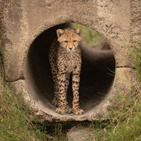 Cheetah cub standing in pipe staring down