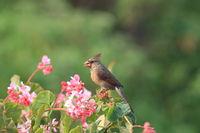Red Cardinal Hawaii Big Island USA