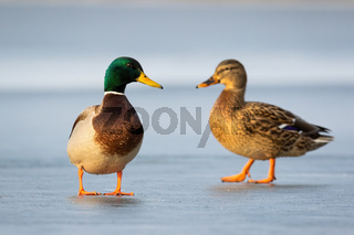 Pair of mallards standing on ice in winter close together in cold weather