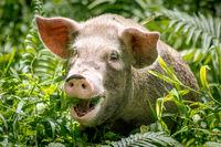 A happy pig in Papua New Guinea