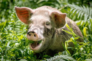A happy pig in Papua New Guinea