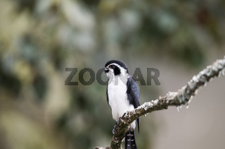 pied falconet stand on a branch