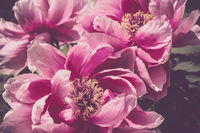 Paeonia suffruticosa Flower pink close-up