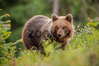 Fluffy young brown bear, ursus arctos, in summer at sunset.