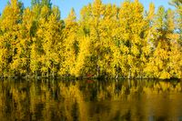 Yellow autumn deciduous forest on the river bank