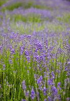 Lavendelbüten