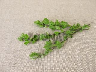 Besenginster, junge Zweigspitzen und Blütenknospen, für die Naturheilkunde