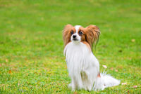 Portrait of a papillon purebreed dog