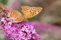 Silver-washed Fritillary or Argynnis paphia sitting on a pink flower