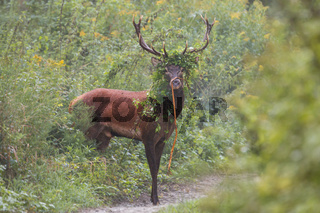 Red deer outgoing from spinney overgrown of leaves in the summer with copyspace.