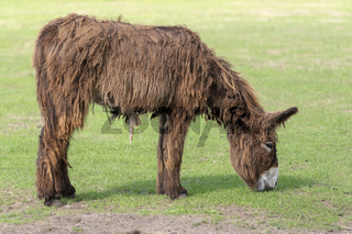 Donkey Equus africanus asinus with long hair in a meadow