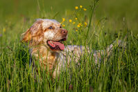 Orange Belton English Setter hiding in high grass with yellow flowers