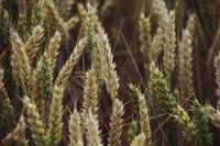 Ein Getreidefeld mit Gerste wartet auf die Ernte