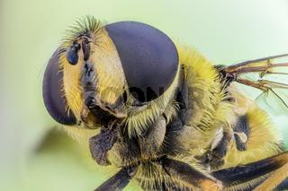 Totenkopfschwebfliege, Myathropa florea, Dead Head Hoverfly - Microscope Stacking Extreme
