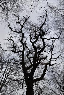 morbide... Eiche *Quercus robur*, auch Deutsche Eiche genannt