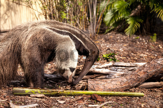 Giant anteater Myrmecophaga tridactyla forages under logs