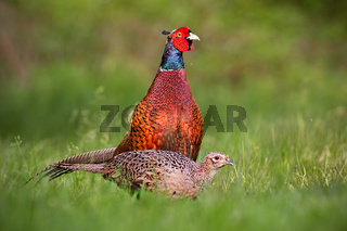 Pair of common pheasants, phasianus colchicus in spring.