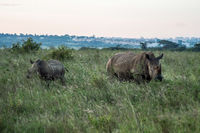 A rhinoceros and his cub in the savannah