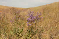 Stem of Limonium vulgare Mill with flowers on nature background