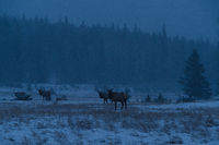 Elks on a winter morning, Banff National Park Landscape