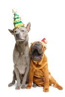 two dogs in christmas hats