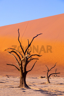 dry acacia tree in dead in Sossusvlei, Namibia