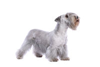 Cesky Terrier dog