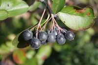schwarzfrüchtige Apfelbeere