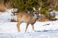 Watchful female of roe deer grazing on the snowy field with caution