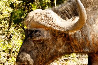 Close up of an buffalo standing