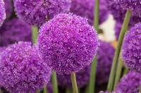 Allium (Giganteum)