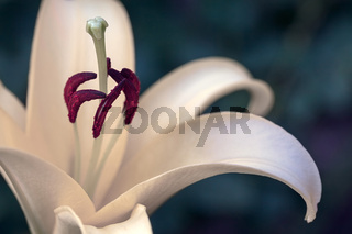 white lily blossom with purple stamen and stamp