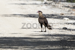 young northern crested caracara which stands on the edge of the forest on a bright sunny day